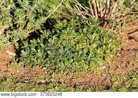 Japanese Cheesewood Or Pittosporum Tobira Or Australian Laurel Or Japanese Pittosporum Or Mock Orang
