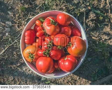 Top View Of Freshly Harvested Organic Red Tomatoes In A White Plastic Bucket In The Garden Under The