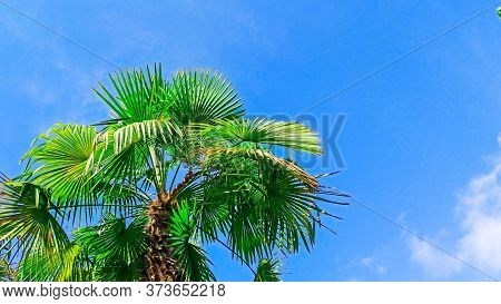 Beautiful Palm Tree Against A Bright Blue Sky. Palm Tree Tropical Background. Concept: Summer, Holid