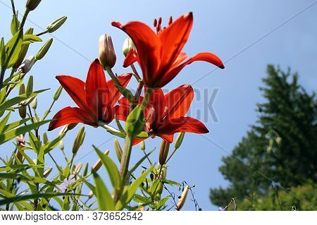 View Up On A Cluster Of Amazing Red Flowers Closeup. Sunlight Penetrates Through Its Petals.