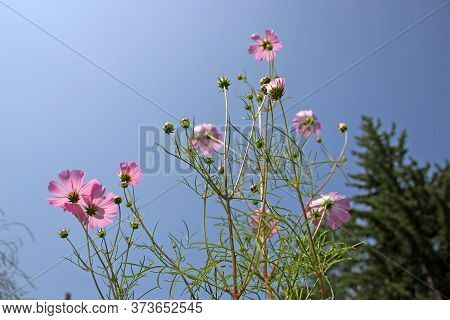 View Up To The Sky Through A Few Florets On A Thin Stalks.