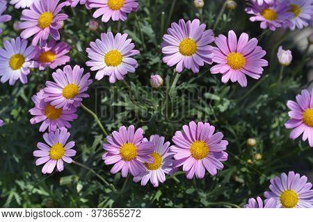 Pink Marguerite Daisy Cultivar - Latin Name - Argyranthemum X Hybrids