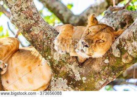 Lioness On The Tree In Masai Mara National Reserve, Kenya. Animal Wildlife. Safari Concept.