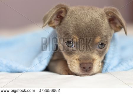 Chihuahua Puppy. The Puppy Lies On The Bed Under A Blue Blanket. Dog Looking At The Camera