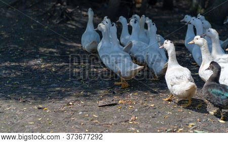 White Ducks On The Farm. Portrait Of A White Duck Walking In A Pen. A Flock Of Ducks Walks In A Padd