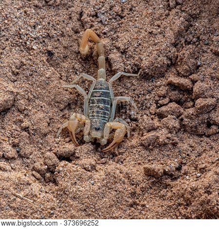 This Dune Scorpion (probably Smeringurus Mesaensis), Was Found Underneath A Rock, Hiding From The Sc