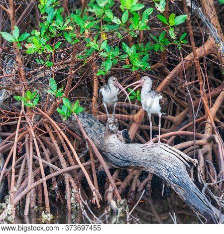 Pair Of Juvenile American White Ibises (eudocimus Albus) Sitting In Mangroves. J.n. Ding Darling Nat