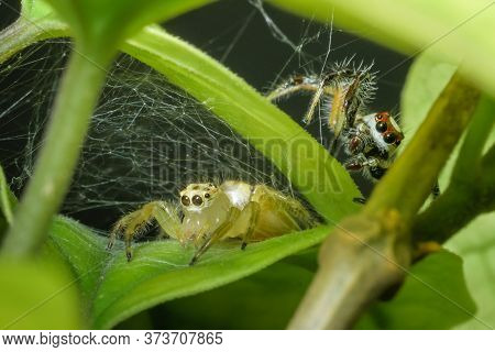 One Yellow And One Red Jumping Spider Close Up Shot . Apparently Playing Hide And Seek In The Web