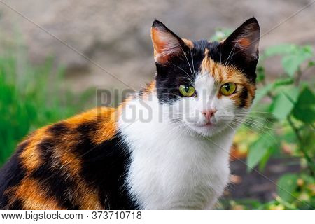 Curious Calico Cat Walking Outside. Predator In The Autumn Garden