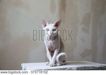 Sphinx Hairless Cat, Hairless, Anti-allergenic Cat, Pet Against A Painted Wall. Beautiful Cat With H