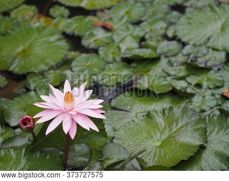Red Water Lily Plantae Sacred Lotus Bean Of India Flower In Blooming Pond Large Environment Nature B