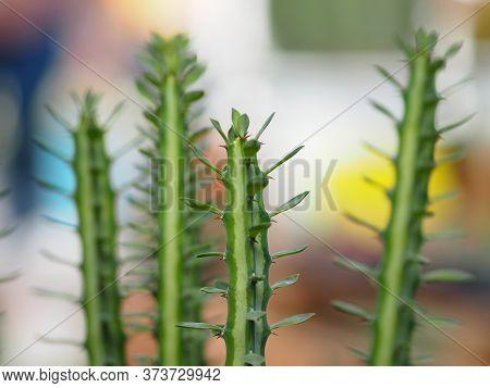 Cactus Tree Green Trunk Has Sharp Spikes Around Blooming