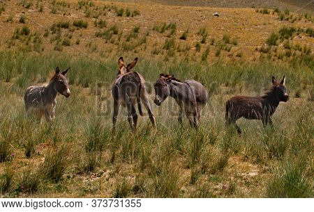 Tajikistan. The Pamir Highway. A Small Herd Of Domestic Donkeys Frolic In The Mountain Steppes Durin