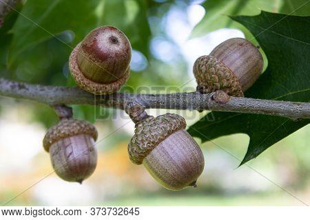 Acorns Fruits. Close Up Acorns Fruits In The Oak Nut Tree