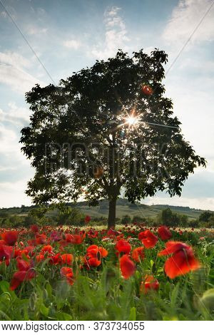 Sunflare through a lone tree in a poppy field in the hills of Tuscany in Italy
