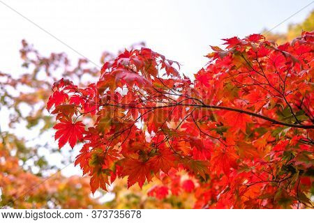 Maple Tree Have A Leaf Change Color On The Tree, Colorful Maple Trees, Red Autumn Leaves Season In A