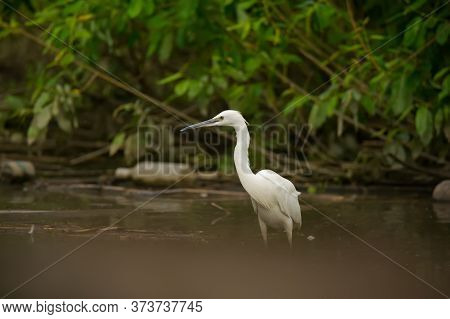 Beautiful Little Egret Fishing In The Lake