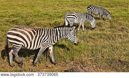 Three Beautiful Zebras Graze In The Savannah. Close-up. Black And White Striped Pattern, Mane, Tail,