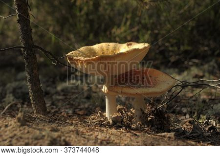 Two Spotted Toadstools In The Woods  In Autumn