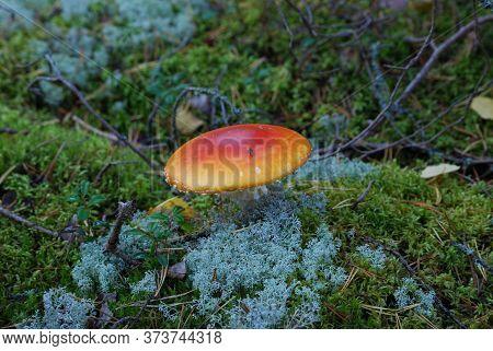 Fly Agaric Or Fly Amanita (amanita Muscaria)