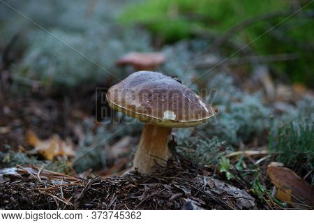 Cep Growing In The Forest