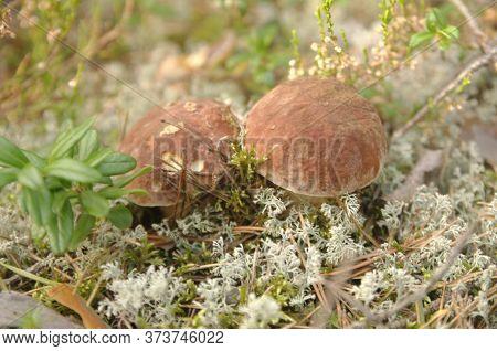 Edible Bolete Mushrooms In Autumn Forest. Boletus Edulis.