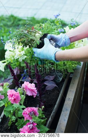Caucasian Woman Gardener Hands In Blue Gloves Replanting Flowers Into Wooden Container Pot In Street