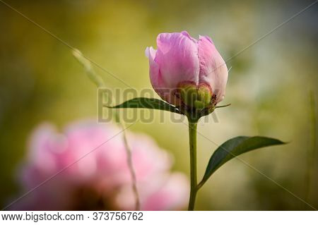 Beautiful Pink Peonies, With A Fragrant Smell, Have Green Leaves On The Stems, Lit By The Morning Su