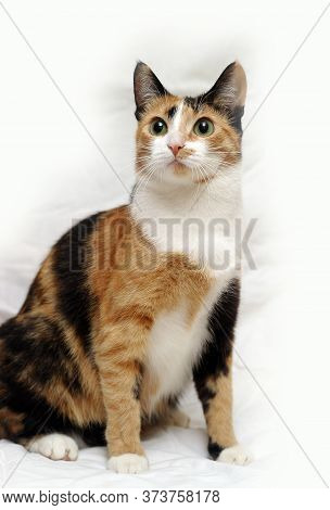 A Beautifull Female Cat, With Three Colours.