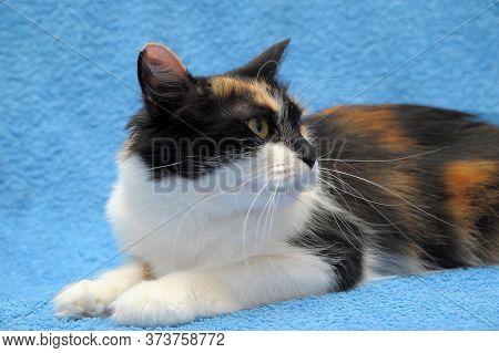 Three-colored Cat