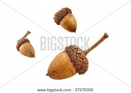 Three Isolated Acorns