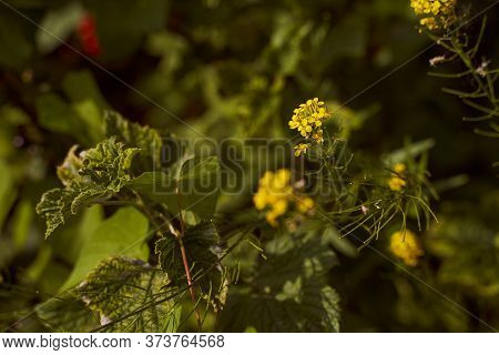 Eatable Winter Cress Is A Yellow Wild Flower. Close-up.