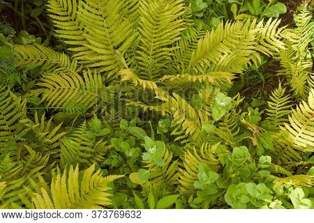 Dense Fern Thickets Close-up. Beautiful Nature Background With Many Ferns. Scenic Backdrop Of Rich G