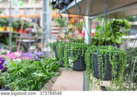 Succulent Cactus String Of Pearls Or String Of Beads With Teardrop-shaped Leaves, Hanging In A Pot I