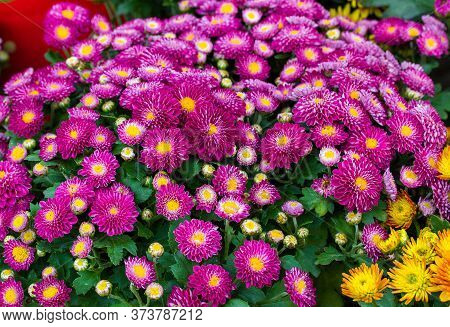 Chrysanthemum Flower.chrysanthemum Purple,floral Background,close Up