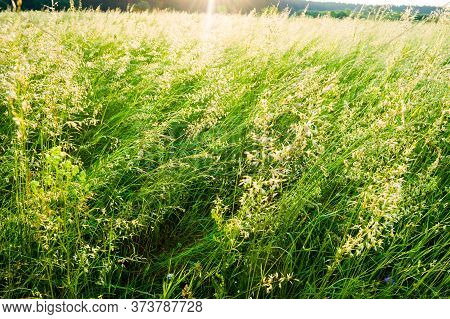 Summer Green Meadow With Juicy Grass, Tall Grass, Pasture. Bright Sun.
