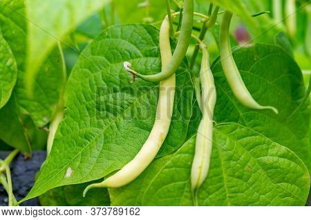 Ripe Green Long Beans Hanging On Plant In Garden