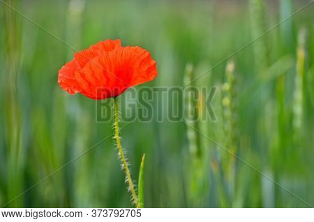Beautiful Red Flower - Poppies. Natural Colorful Background.
