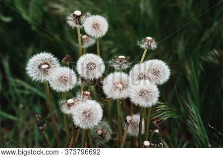 White Fluffy Dandelion Flowers. Meadow Of Dandelions, Dandelion Seeds Close-up.