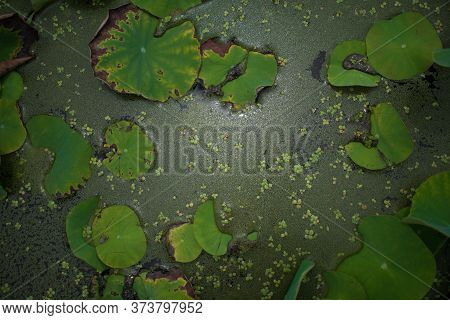 Green Leaf Lily Pad In The Pond Nature Background