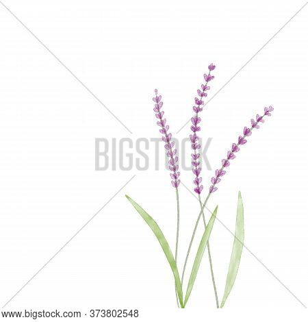 Hand Drawn Digital Watercolor Sketch Illustration Of Growing Blooming Lavender Flowers With Green Le