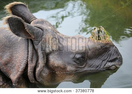 Great Indian Rhino