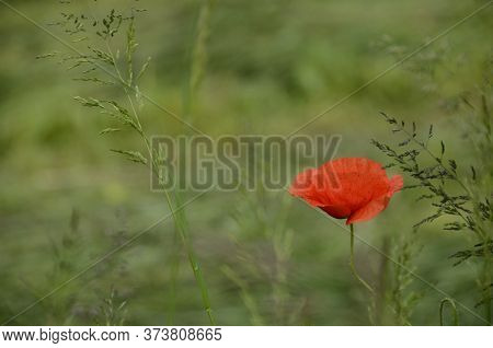 Red Poppy In Green Field, Close Up For Nature Background