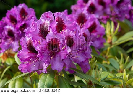 Close Up Image Of Rhododendron Hybrid Orakel (rhododendron Hybride)