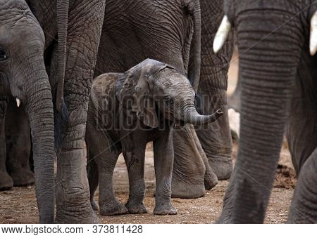 Baby Elephant (loxodonta Africana) Sheltered Among The Grown Ups. Kruger Park, South Africa