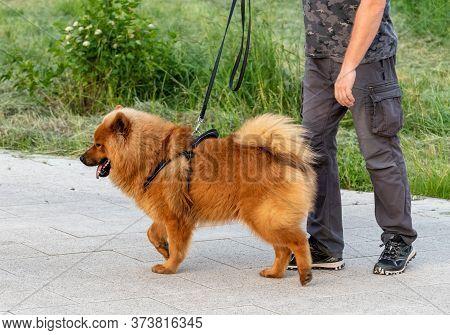 A Man Leads A Chow Chow Dog On A Leash
