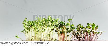 The Microgreen In Plastic Trays For Planting Young Plants. Microgreen Are Young Vegetable Green Or S