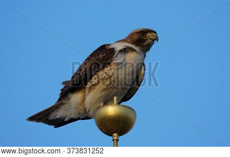 A Large Red Tailed Hawk Sits On Top Of A Flag Pole And Looks Down At The Camera.
