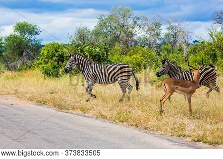Two savannah zebra and antelope crosses a narrow road in the park. South Africa. Animals live and move freely in the  savannah. The famous Kruger Park. The concept of exotic and photo tourism
