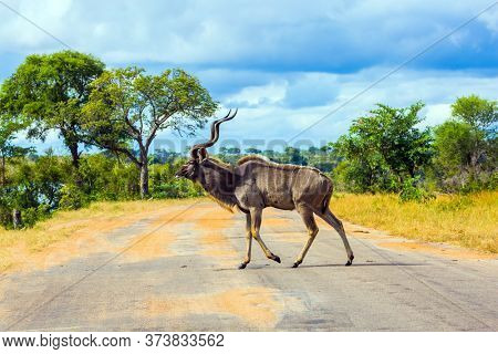 The antelope Kudu -  large ungulates graze in the bushes. Kudu-  beautiful herbivore crosses a narrow road for tourists. Africa. The Kruger Park. The concept of ecological and photo tourism